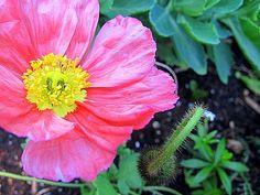 Icelandic Poppy, new in the garden this year.