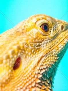 close-up of a central bearded dragon. - Close-up of a central bearded dragon isolated on turquoise background.
