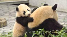 かわいい♪ パンダの赤ちゃん