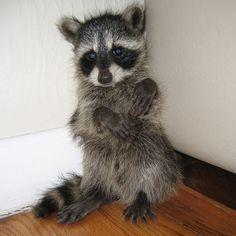 Baby raccoons always look guilty - album