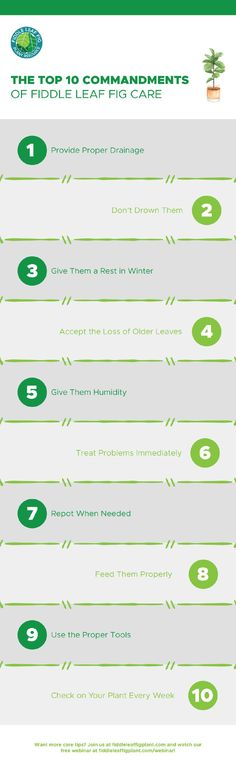 Discover the top 10 fiddle leaf fig care tips with this easy infographic. Learn the top 10 things to follow to ensure a happy, healthy, gorgeous fiddle leaf fig plant. Learn more fiddle leaf fig care tips from The Fiddle Leaf Fig Plant Resource Center. Container Gardening, Gardening Tips, Fiddle Leaf Fig Tree, Spider Plants, Happy Healthy, Plant Care, Houseplants, Infographics, How To Find Out