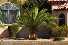 2 Canary Island Palm Trees & Pots