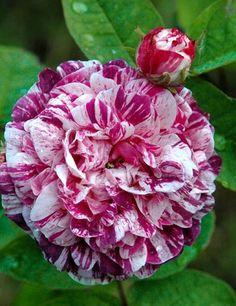 gallica roses   Historische Rose Gallica Camaieux, 16,95 €, Traumrosen - Traumhafte ...