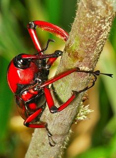 Bamboo Weevil