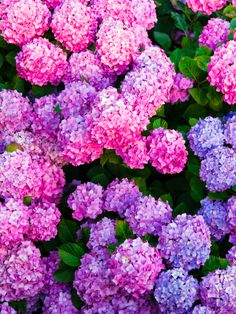 Add some color to your outdoor space with colorful hydrangeas this spring by visiting our online tree nursery. From flowering favorites to fruitful trees, you will find exactly what you need to make your ladnscaping or garden beautiful. #arborday #colorfulflowers #springlandscaping #gardening #treenursery #hydrangeas #pinkhydrangeas #brightflowers #brighthydrangeas #landscapedesign #gardendesign #flowerdesign #springflowers #arbordayfoundation Bright Flowers, Tulips Flowers, Spring Flowers, Roses, Blue Spruce Tree, Arbor Day Foundation, Red Maple Tree, Hydrangea Colors, Fast Growing Trees