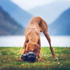 Vizsla ~ Taking Aim! Beautiful Dog Breeds, Beautiful Dogs, Cavalier King Charles, Pitbull, Chihuahua, Husky, Labrador, Malinois, Hungarian Vizsla