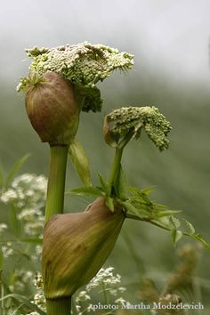 Emerging Angelica. In perfumery Angelica adds an herbal note with a bracing but sweet feel like the herb, while the root extract is more pungent. (Fragrantica)