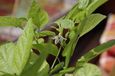 Mr. Greens Welt: Chilipflanzen ist es zu kalt
