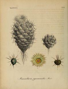 Cactus, Nova Acta Physico-Medica, Academiae Caesareae Leopoldino-Carolinae Naturae Curiosum, Vol. 16, 1832-33.