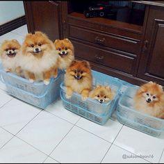 Baskets of pomeranians!