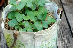 Grow sweet potatoes in a bag. Sounds pretty easy