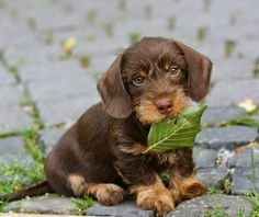 Chocolate wire haired Cute Dachshund puppy on Gustav's Dachshund World | Cute puppy and dog
