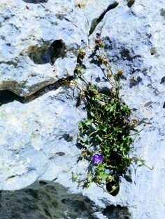 Campanula cymbalaria Endemic to Lebanon, Syria and Turkey Habitat: Rock on the high altitude  Surveyed in Sannine mountains, Lebanon 17-7-2017