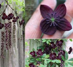 Akebia longeracemosa also known as Chocolate Vine. The purplish-brown flowers have a delicate chocolate scent. Via FB Garden Soul Brown Flowers, Love Flowers, Beautiful Flowers, Vines, Beautiful Home Gardens, Gothic Garden, Flower Cart, Winter Plants, Black Garden