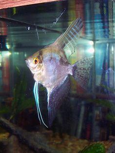 black lace angelfish | smokey angelfish photo 225x300 Types of Angelfish: The Many Freshwater ...
