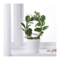HOYA Rostlina  - IKEA