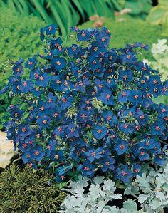 Anagallis Gentian Blue, Mr. Fothergill's
