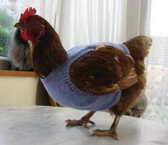 Chickens wearing sweaters!