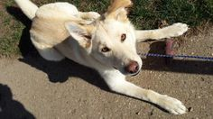 Olaf is an adoptable Husky searching for a forever family near Angola, IN. Use Petfinder to find adoptable pets in your area.