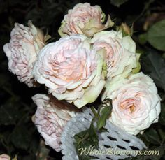 """!!! AMANDA!!! Pink Garden Rose. Spray but very large. 3"""" in diameter. could be AMAZ for decorations!!! 60 stems 3!! per stem for only $130. MUST get!!!"""