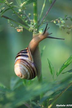 Land snail - Melc by *malaladanila Beautiful Creatures, Animals Beautiful, Cute Animals, Reptiles, Mammals, Lizards, Pet Snails, A Bug's Life, Mundo Animal
