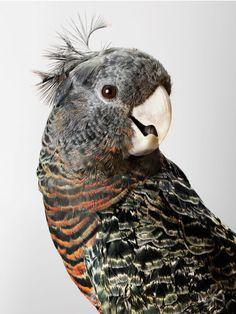 Mrs Skyring, the female Gang-gang Cockatoo in Leila Jeffreys' book Birdland.