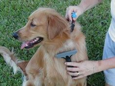 Great tips on how to groom your dog weekly!!! Grooming a Golden Retriever   Pet Care Wiz