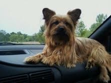 BANDIT is an adoptable Silky Terrier Dog in Minnetonka, MN. Little 2 year old Bandit was given up by his owner who lost his home. Bandit is so loving and he misses his owner and is hoping for a new sp...