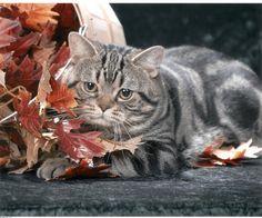 american shorthair 1 - #americancurl #catbreeds #typesofcats - More Type Of Cats at Catsincare.com!