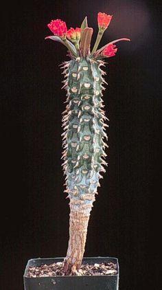 Euphorbia_viguieri_ankarafantsiensis