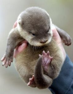 Adorable baby otter