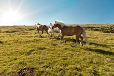Pferde beim Auslauf auf der Alm