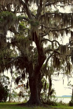 Love spanish moss hanging from trees