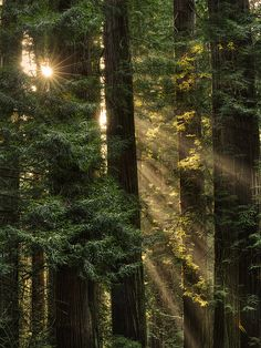 ˚Sun Rays at Coast Redwood (Sequoia sempervirens) Jedediah Smith Redwoods State Park - Del Norte County, CA