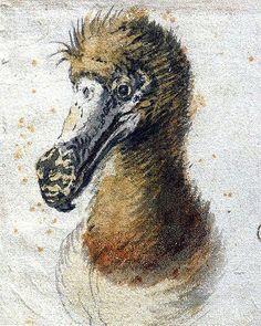 Cornelis Saftleven: Sketch of a Dodo Head, 1638, Boijmans Museum in Rotterdam