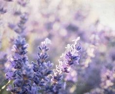 Purple Lavender Flower Field Photography floral by MaleahTorney