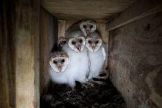 Barn Owl Nest Box Plans