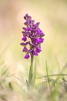 orchis morio | Flickr - Photo Sharing!