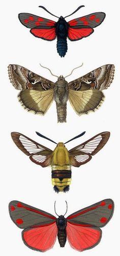 Des illustrations à la gouache de quelques papillons de nuit, par l'artiste danoise Birgitte Rubaeck.
