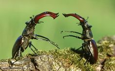 two male stag beetles fighting