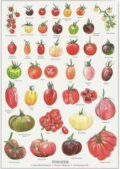 Tomatos Gardening 36 different kinds of tomatoes illustrated to be used on this poster as well as in a book about tomatoes. TOMATOS X 36 on Bechance by Anne Hviid Nicolaisen - Growing Tomatoes, Growing Vegetables, Botanical Drawings, Botanical Prints, Veggie Gardens, Vegetable Garden, Illustration Botanique, Autumn Garden, Plantation