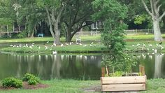 Ibis season. Ducks have hatched. Gooselings are as big as mom and dad.