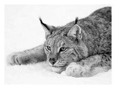 Lynx Art Print by PhotoINC Studio at Art.com