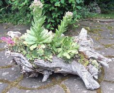 Succulent Log Planter-I have a piece of driftwood that is very similar to this. Im definitely planting it with succulents. saw this with a long log but cant find the pin now.