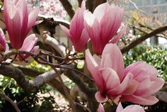 The saucer magnolias in bloom in the Haupt Garden.