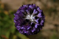 Himalayan Primrose - Primula capitata mooreana (India) | Primevère de l'Himalaya - Primula Capitata mooreana (Inde) | Himalayan Primrose - Primula capitata mooreana (India)