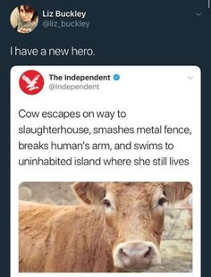 "When firefighters used a boat to cross the reservoir, the cow swam about 50 metres to a neighbouring peninsula of the island, refusing to be recaptured. ""I saw her diving under water."" After these failed attempts, her owner gave up and began leaving food on the island instead. http://www.bbc.com/news/world-europe-43112770"