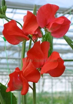 sweet pea Winter Sunshine Scarlet first to bloom in really cold temperatures