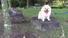 Chow chow Dog puppy exploring the outdoors Chow Chow Dogs, Outdoor Dog, The Great Outdoors, Exploring, Dogs And Puppies, Labrador Retriever, Animals, Labrador Retrievers, Animales