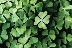 A 4-Leaf Clover Cannot Be a Shamrock. Learn why here: http://landscaping.about.com/cs/lawns/a/clover_lawns.htm